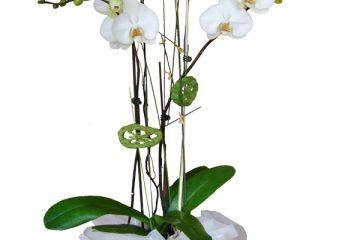 Planta orquídea