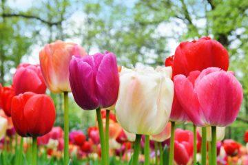 Que significa regalar tulipanes